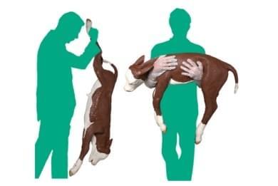 Model teliatka pre ťažké pôrody