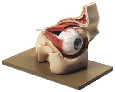 CS 2 - Očná buľva s časťou očnej jamky
