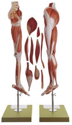 NS 10 - Svaly nohy a spodok panvy