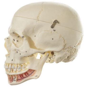 QS 2/1 - Umelá lebka človeka