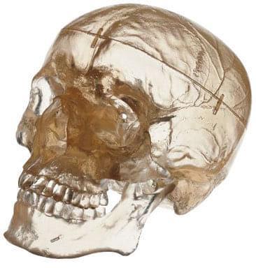 QS 7 / T - Umelá lebka človeka - priehľadný model