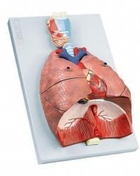 Dýchacie ústrojenstvo