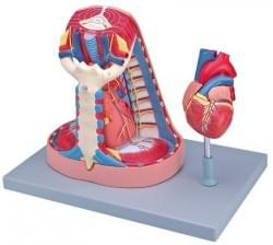 Anatómia ľudského tela