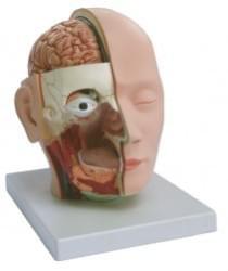 Hlava, mozog a nervový systém