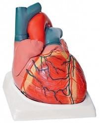 Srdce a kardiovaskulárny systém