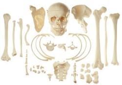 Kosti a časti kostry