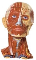 Hlava a nervový systém