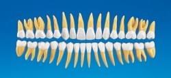 Anatómia zubov