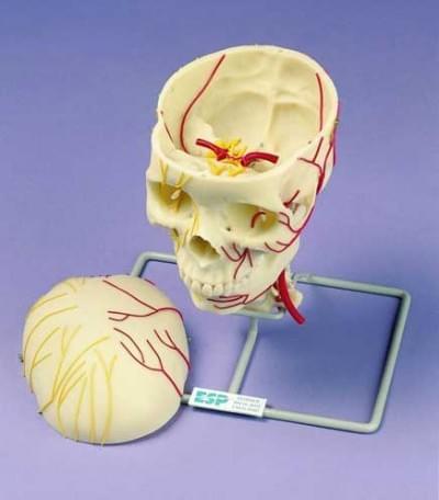 Neurovaskulárna lebka