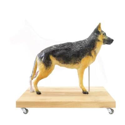 M01574 - Výukový model psa, 11 častí, 2/3 životnej veľkosti