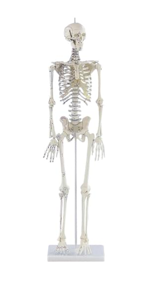 """3035 - Mini-kostra """"Daniel"""" s naznačenými svalmi"""