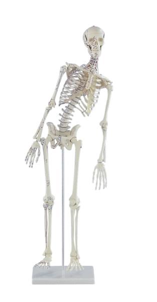 """3045 - Mini-kostra """"Fred"""" s ohybnou chrbticou a naznačenými svalmi"""