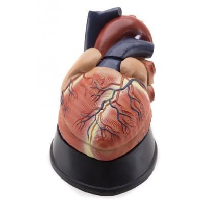 GD0321 – Srdce, cca 2,5× zväčšené, 6 částí
