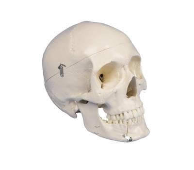 4513 - Dentálna lebka, 4 časti
