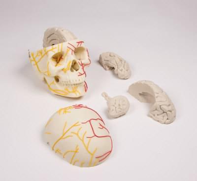 4610 - Neurovaskulárny model lebky