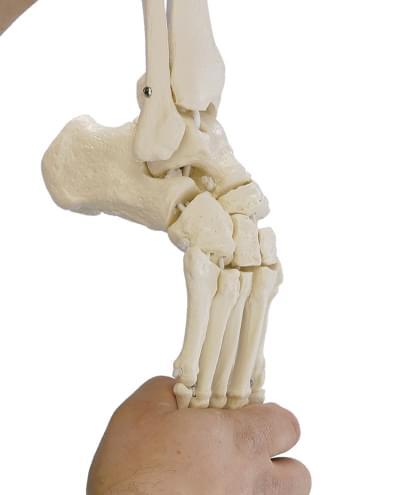 6056 - Kostra nohy s pripojením holennej a lýtkovej kosti, ohybná