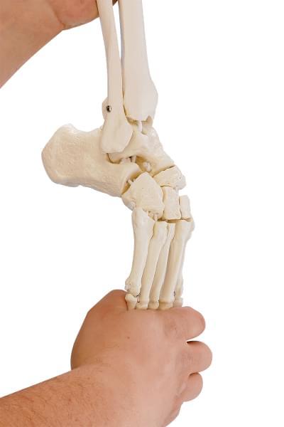 6069 - Kostra dolnej končatiny s polovicou panvy a ohybným chodidlom