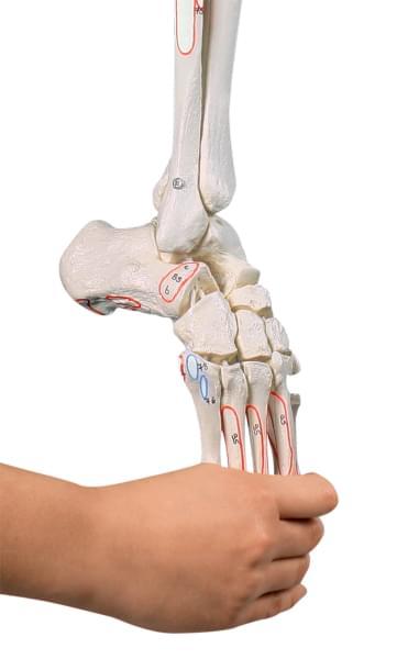 6072 - Kostra dolnej končatiny s polovicou panvy a ohybným chodidlom, s naznačenými svalmi