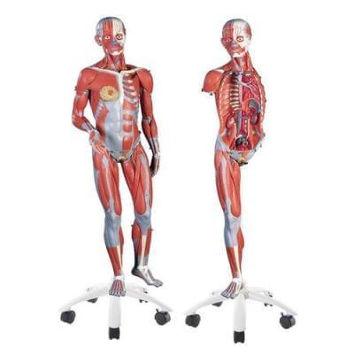 B51 - Ženská svalová postava, 3/4 životní velikosti, 23 částí, na kovovém stojanu, bez vnitřních orgánů