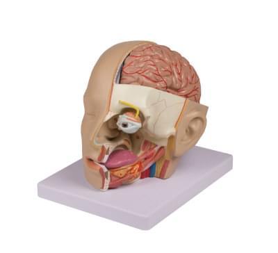 6030.03 - Rozkladací model hlavy