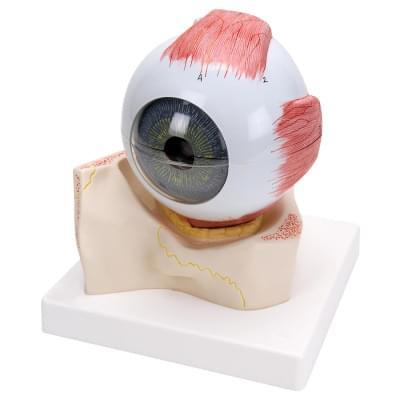 F11 - Model oka v kostnej očnej jamke