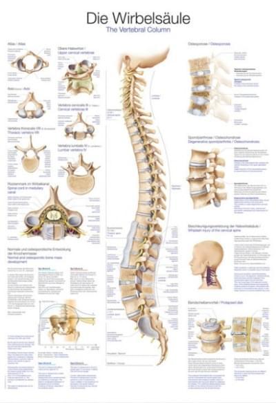 AL107 - Ľudská chrbtica