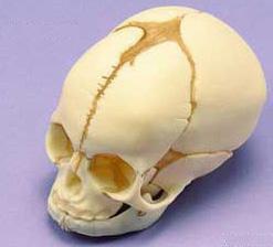 Lebka plodu