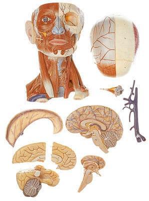 BS 18/2 - Hlava a svaly