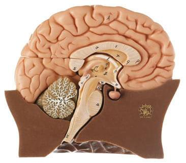 BS 20/1 - Polovica mozgu