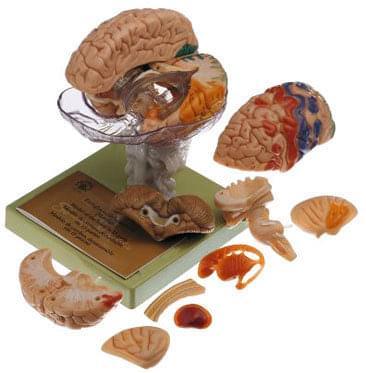 BS 25/1 - Mozog s označenými cytoarchitekturálnymi oblasťami
