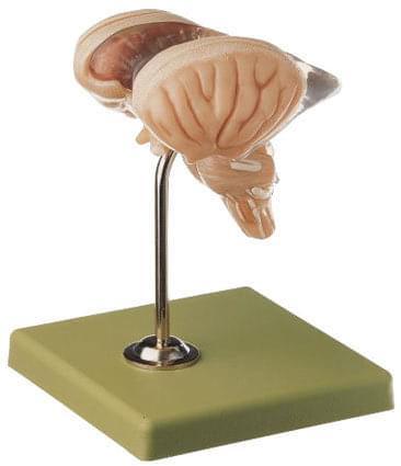 BS 25/2 - Mozgový kmeň - 8 častí