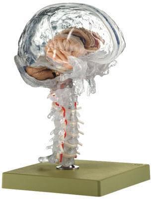 BS 25 / T - Priehľadný model mozgu
