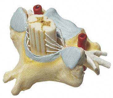 BS 29 - Krčný stavec (C VI) s miechou