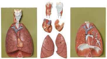 HS 7 - Pľúca, srdce, bránica a hrtan
