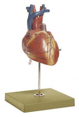 HS 24 - Srdce plodu
