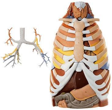 HS 21 - Anatómia hrudného koša