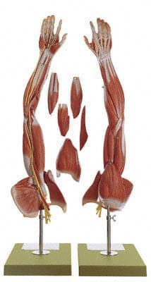 NS 15 - Svaly paže a pletenec ramenný