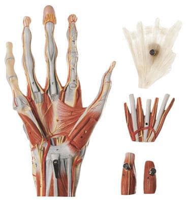 NS 13 - Svaly ruky na stojanu