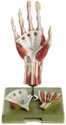 NS 13/1 - Chirurgický model ruky