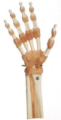 NS 55 - Praktický model ruky a kĺbov prstov