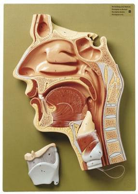 FS 4 - Středový průřez nosních dutin, ústa a krk