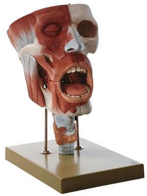 FS 5 - Stredový prierez nosných dutín, ústa a krk