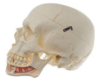 QS 2 - Umelá lebka človeka