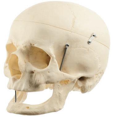 QS 7/7 - Umelá lebka človeka