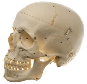 QS 7/1 - Umelá lebka človeka