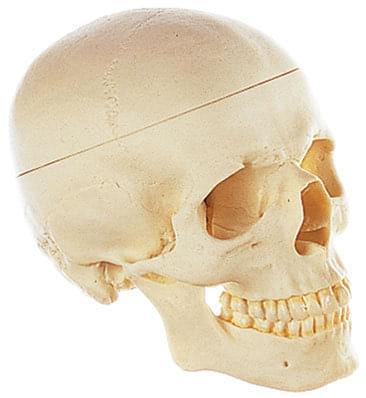 QS 7 / E - Umělý model lebky