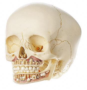 QS 3/2 - Umelá lebka dieťaťa (približne 6-ročného)