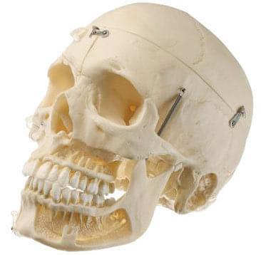QS 8/10 - Umelá lebka dospelého človeka