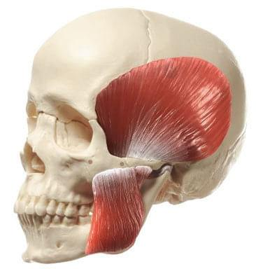 QS 8/218M - Model lebky so žuvacími svalmi - 18 častí