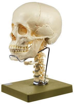 QS 8/2C - Model lebky s krčnou chrbticou a jazylkou - 14 častí